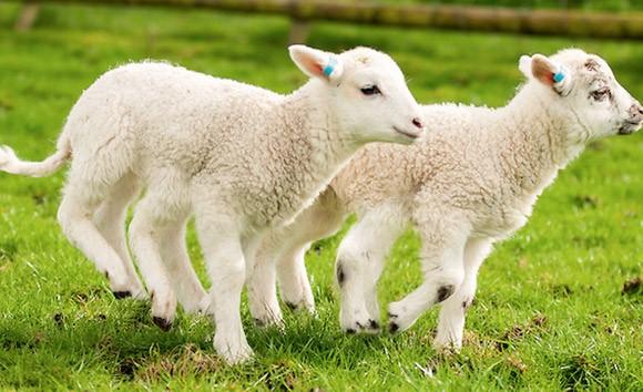 Mơ thấy con cừu có ý nghĩa gì