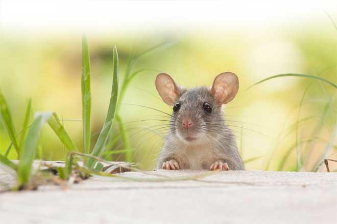 mơ thấy chuột đuổi theo